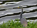 Tricolored heron kiawah (36387492935).jpg