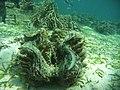 Tridacna Squamosa.jpg