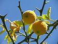 Trifoliate oranges Burbank's Farm.JPG