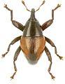 Trigonopterus mimicus holotype - ZooKeys-280-001-g050.jpg