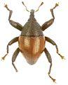 Trigonopterus rubripennis holotype - ZooKeys-280-001-g072.jpg
