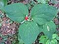 Trillium fruit.jpg
