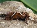 Triodia sylvina ♂ - Orange swift (male) - Тонкопряд лесной (самец) (40285018484).jpg