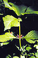 Triosteum perfoliatum.jpg