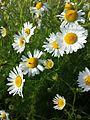 Tripleurospermum inodorum sl11.jpg
