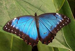 http://upload.wikimedia.org/wikipedia/commons/thumb/9/93/Tropical_butterfly.jpg/260px-Tropical_butterfly.jpg