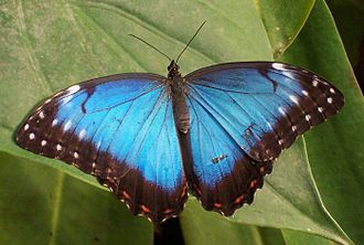 Natural history of Trinidad and Tobago - Morpho peleides (morpho butterfly)