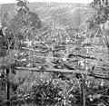 Trta- stara cepljena, a se ni prijelo. Pri Bečancu, Zdravko v vrtu (Plahuti) 1950.jpg