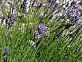 True Lavender (Lavandula angustifolia) (8331930335).jpg