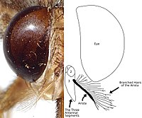 Tsetse fly - Wikipedia, the free encyclopedia