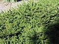 Tsuga canadensis Pendula 0zz.jpg