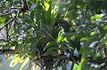 Tucaneta Verde, Emerald Toucanet, Aulacorhynchus prasinus (12175959626).jpg