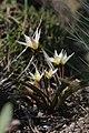 Tulipa turkestanica (34155492395).jpg