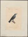 Turdus cyanus - 1842-1848 - Print - Iconographia Zoologica - Special Collections University of Amsterdam - UBA01 IZ16300303.tif