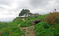 Turkish pine, Kozan Castle 01.JPG