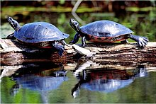 cooter turtles basking in sunshine near their pond
