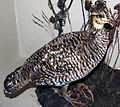 Tympanuchus cupido cupido (heath hen).jpg