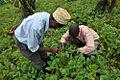 Uganda bean field2 lo.jpg