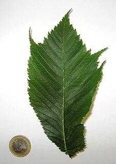 <i>Ulmus glabra</i> Cornuta Elm cultivar