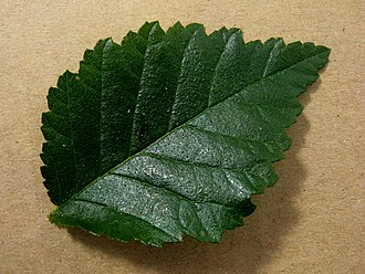 Ulmus minor 'Ademuz' - Image: Ulmus minor 'Ademuz' leaf