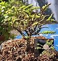 Ulmus parvifolia Hokkaido.jpg