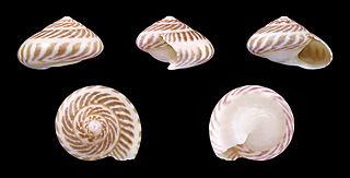 <i>Umbonium vestiarium</i> Species of mollusc