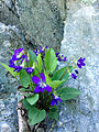 Unidentified Viola - Violet 2.jpg