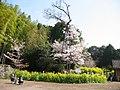 Uomi Sakura 2004-03-16 01.jpg