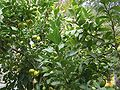 VM 0196 Stratford - lemon tree.jpg