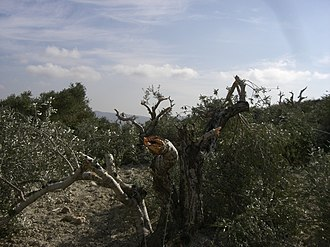 Price tag policy - Olive tree in the village of Burin which was allegedly vandalized by settlers from Yitzhar