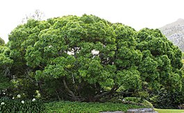 Vepris lanceolata - White Ironwood Tree - South Africa 3.jpg