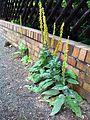 Verbascum nigrum Karow.jpg