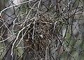 Verdin nest (33902644985).jpg