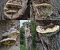 Very old species of Phellinus igniarius (Echte vuurzwam) at a dead beech at Barneveld - panoramio.jpg