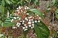 Viburnum japonicum kz1.jpg
