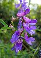 Vicia cracca nectar robbing.jpg