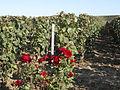 Vigne Pinot Noir (Cerseuil) Cl.J.Weber05 (23595276271).jpg