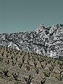 Vignes et château de Quéribus à Maury.jpg