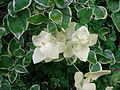 Vinca major showing albinism.JPG