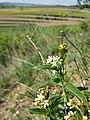 Vincetoxicum hirundinaria (subsp. hirundinaria) sl12.jpg