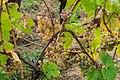 Vine in the vineyard in Kaysersberg.jpg