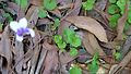 Viola banksii (15420857813).jpg