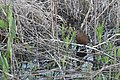 Virginia Rail memory shot (47103094034).jpg