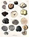 Vittadini - Tuberaceae.png