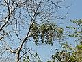 Vrksadani (Sanskrit- वृक्षादनी) (3272190770).jpg