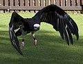 Vulture 1 (3937500643).jpg