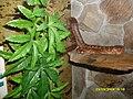 Wąż zbożowy by Ozi.jpg