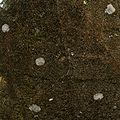 Węsiory porosty na steli krąg południowy 31.12.09 p.jpg