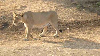Walking Tigress with shadow.jpg