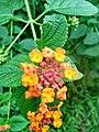 Wayanadan-random-flowers IMG 20180524 094225 HDR (42328601182).jpg